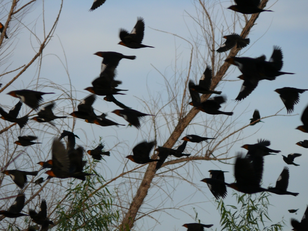0710+Flocking+Blackbirds