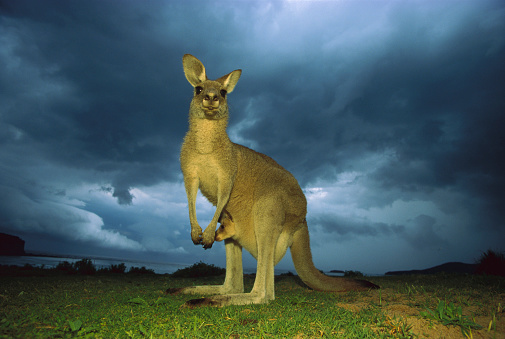 Eastern Grey Kangaroo (Macropus giganteus) mother standing under storm clouds with joey in pouch, Australia