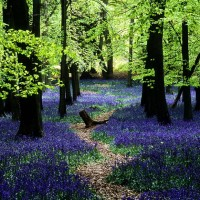Bluebells-in-Ashridge-English-landscape-transformed-into-a-sea-of-blue