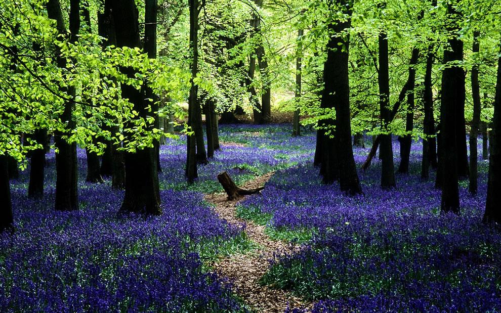 Bluebells-in-Ashridge-English-landscape-transformed-into-a-sea-of-blue