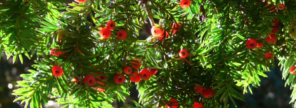 Insights from an Observer: Yew and You (1-15-15)